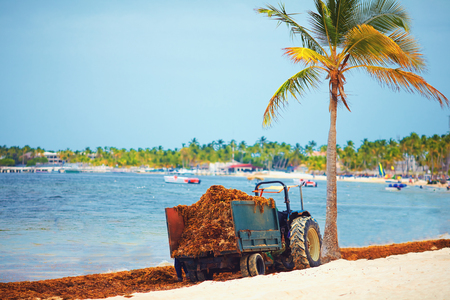 hotel staff cleaning up the territory from blooming algae seaweed with the help of tractor along the coastline at sandy beach Stock Photo