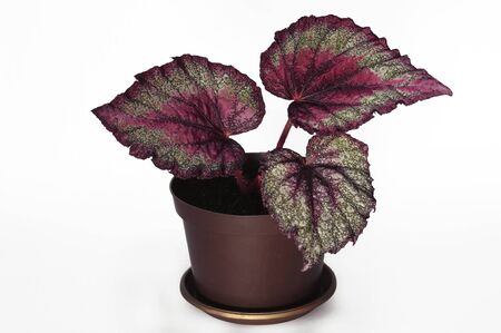 Fine flower begonia rex with the absraktny drawing on leaves on a white background Stock Photo