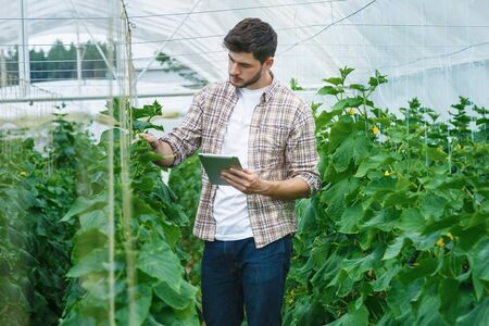 with harvest: Guy with the tablet slowly inspect plants. Young agronomists monitor the harvest. Young farmers are grown and harvested organic vegetables. Stock Photo