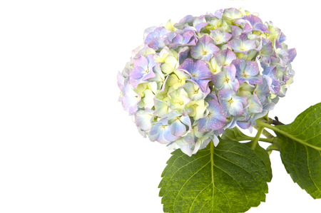 Blue hydrangea flower on a white background with space for text.Studio photography on a white background. In isolation. photo