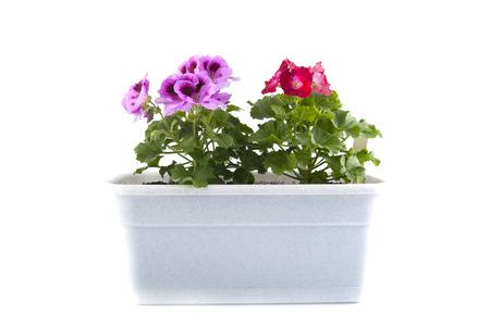 Pelargonium of the balcony pots on a white background.Studio photography on a white background.