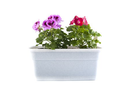flower boxes: Pelargonium of the balcony pots on a white background.Studio photography on a white background.