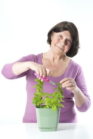 off cuts: Elderly woman cuts off fresh basil