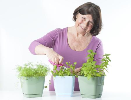off cuts: Elderly woman cuts off fresh herbs