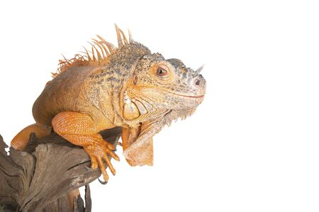 morph: Common Iguana (red morph) closeup. Studio photography on a white background, isolated.