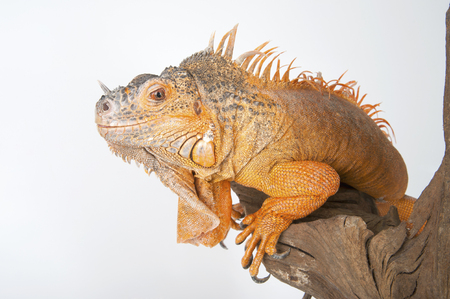 morph: Common Iguana (red morph) close-up. Studio shot on gray (white) background.