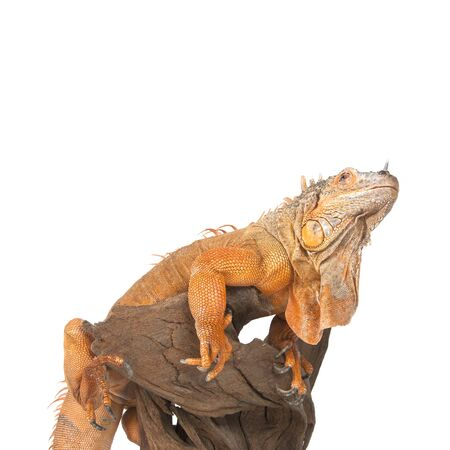 morph: Iguana sits on driftwood close up and looking up. A subspecies of the Red Morph. Studio photography on a white background, isolated.