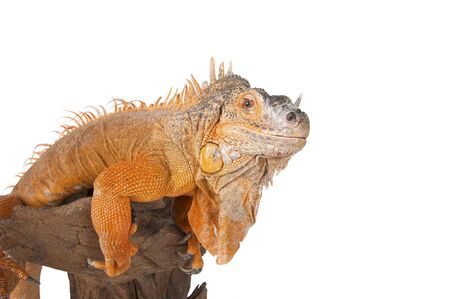 morph: Portrait of iguana close-up. Common Iguana (red morph). Studio photography white background isolated.