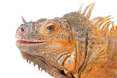 coldblooded: Portrait of iguana close-up. Common Iguana (red morph). Studio photography white background isolated.