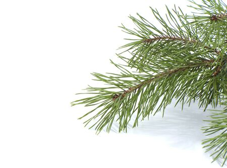 scots pine: Scots pine branch. Studio photography on a white background.