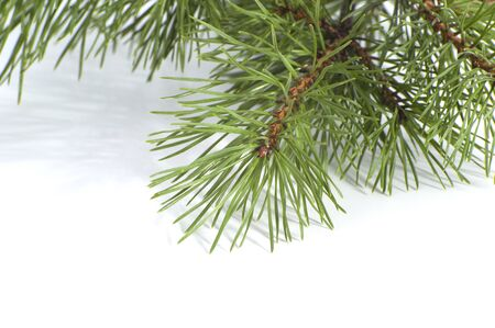 scots pine: Scots pine branch closeup. Studio photography on a white background. Stock Photo