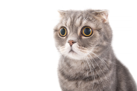 big cat: Portrait of a surprised cat breed Scottish Fold. Studio photography on a white background.
