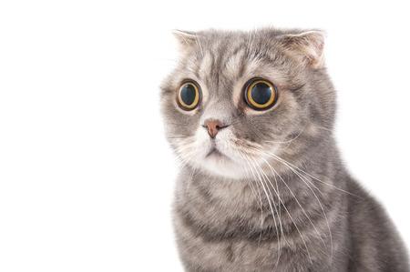 sorprendido: Retrato de un gato sorprendido raza Scottish Fold. Fotografía de estudio sobre un fondo blanco.