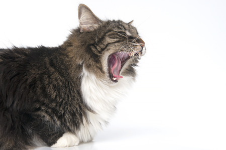 widely: Portrait of fluffy cat with widely open mouth. Studio photography on a white background.