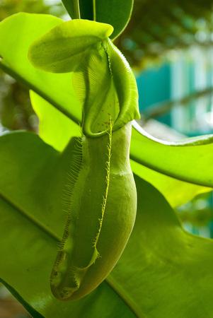 carnivorous: Carnivorous plants Nepentes. Close-up shot.