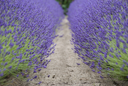sedative: Growing lavender. Field on the island of Jersey.