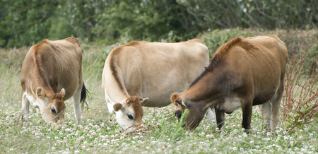 jersey cattle: The Jersey cow. Shoot on the nature. Cow Island Jersey.