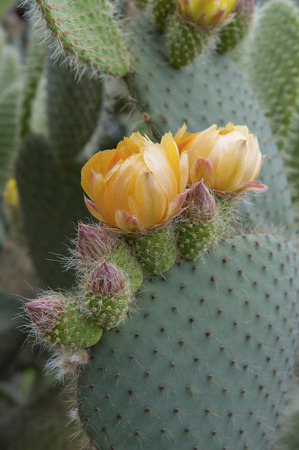 appendage: Flowering cactus Opuntia (Prickly pear). Shooting in the wild.