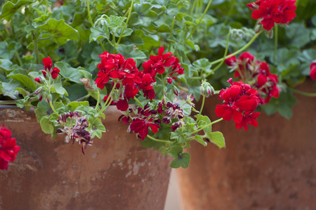 red flower: Blooming geraniums. Shooting in the summer on a sunny day.