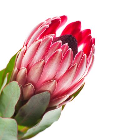 花プロテアにクローズ アップ横にきれいな白い背景。