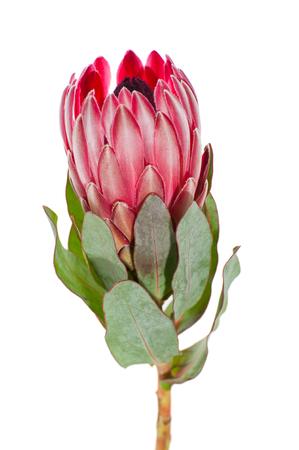 깨끗한 흰색 배경에 꽃 Protea 근접. 스톡 콘텐츠