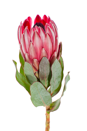 Bloem Protea close-up op een schone witte achtergrond. Stockfoto