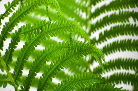 The leaves of wild fern close-ups as a background.