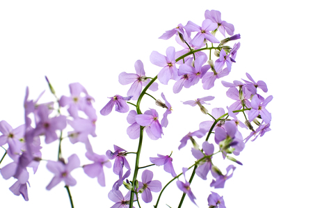 Flowers of Hesperes (Night Violet) on a clean white background.