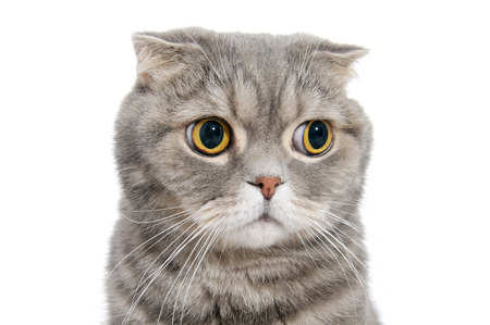 Portrait of breed Scottish fold cat close-up.