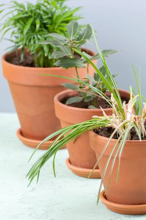 Three potted plants in clay pots: Areca, Laurel and Crocus.