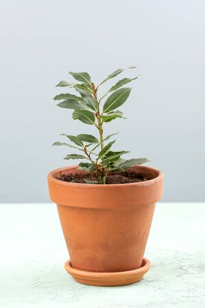 A young seedling of the Laurus tree in a clay pot on a light gray background.