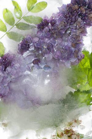 Lilac branch in frozen water. Background image. 版權商用圖片