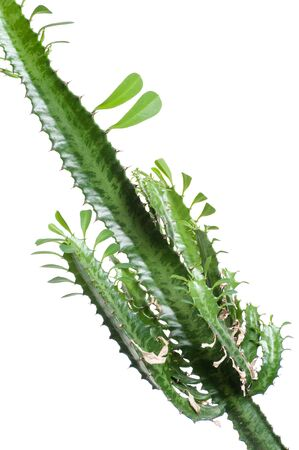Euphorbia Trigona. Fragment on white background. Isolated.  Stockfoto