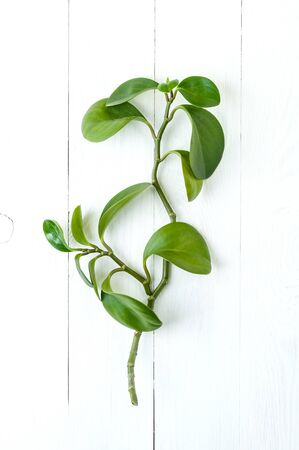 Branch of Peperomia on a table of white painted boards.  Stockfoto