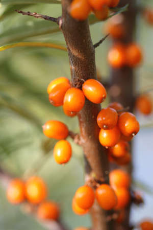 seabuckthorn: Ripe berries of a sea-buckthorn on branches