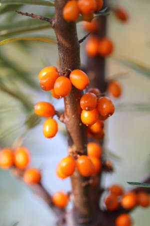 argousier: Ripe berries of a sea-buckthorn on branches