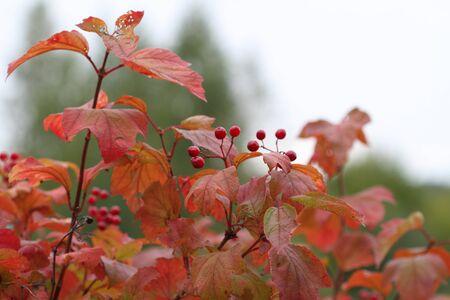 guelderrose: Guelder-rose berries against autumn leaves Stock Photo