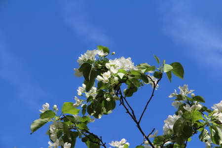 Blooming apple tree, small white flowers on a blurred blue sky background.
