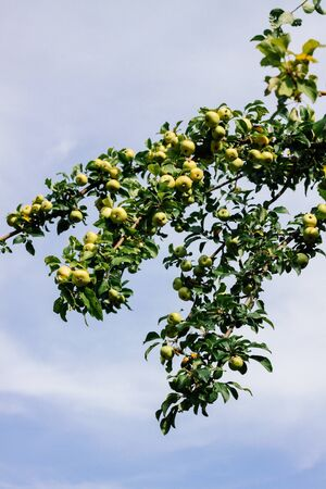 Wild green apples on a branch against a blue sky