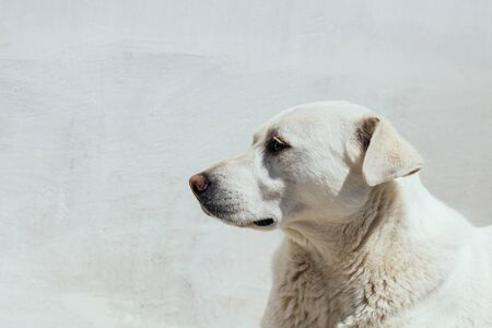 White dog lies on the background of the light wall. Muzzle dogs.