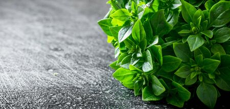 Basil grown in the home garden. On dark rustic background