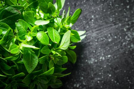 Fresh green Basil for salad. On dark rustic background Stock Photo