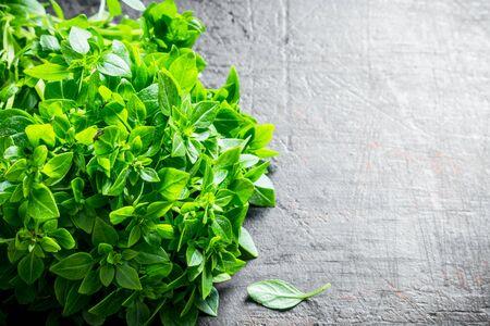 Fresh green Basil. On dark rustic background