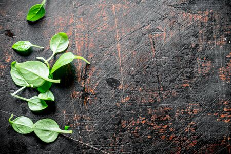 Fresh green Basil leaves. On dark rustic background