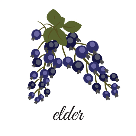 On a white background shows the fruits of elderberry.Element design. Illustration
