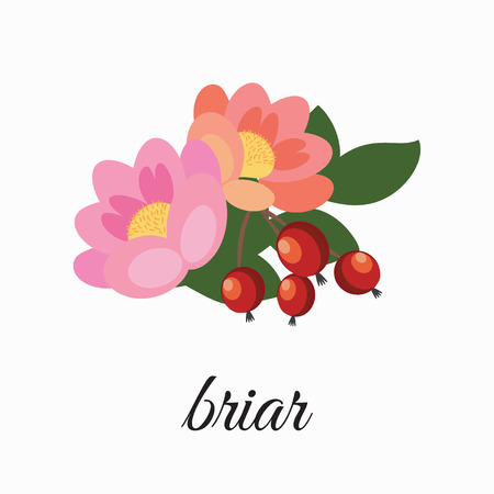 On a white background depicts flowers and rose hips.Element design.