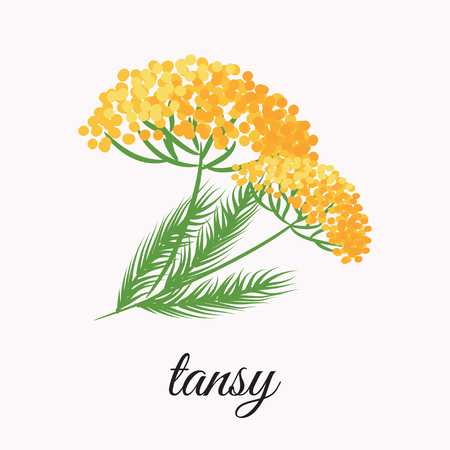 septic: On a white background shows a yellow tansy. Design element