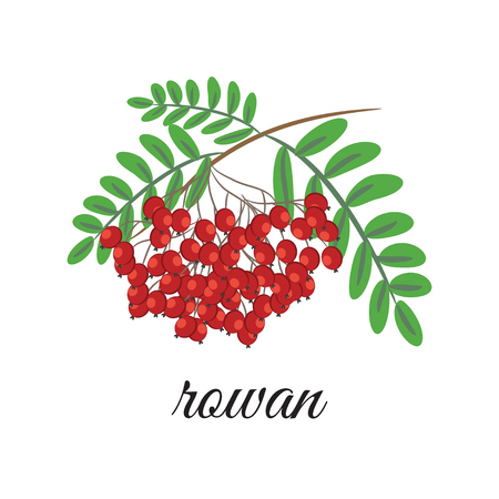 On a white background depicts a red rowan. Design element Illustration