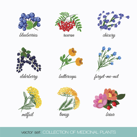 On a white background set of isolated medicinal plants blueberries, rowan, chicory, elder, buttercup flowers, forget me not, tansy, milfoil, briar. illustration Vettoriali