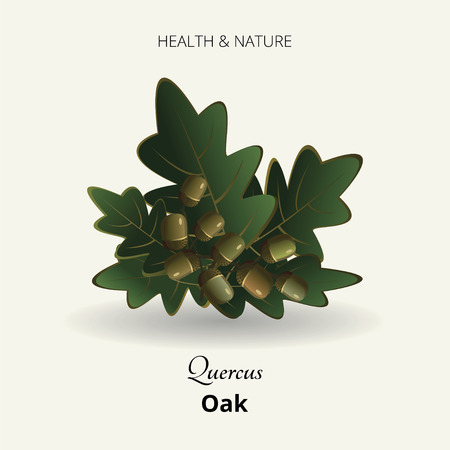 forest conservation: On a white background oak leaves and acorns. A series of medicinal plants. illustration